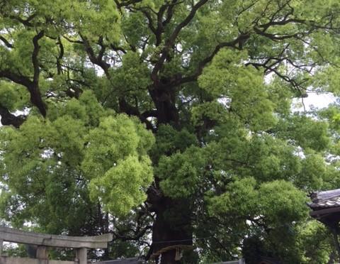 後白河上皇のお手植えと伝えられる大きな御神木クスノキの新熊野神社